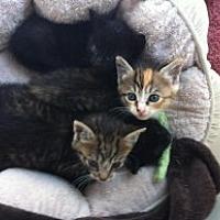 Adopt A Pet :: Misc Kittens - Birmingham, AL