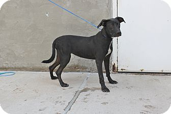 Labrador Retriever Mix Dog for adoption in Odessa, Texas - A19 Daise