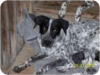Dalmatian/Border Collie Mix Puppy for adoption in Pacific Grove, California - Nigel