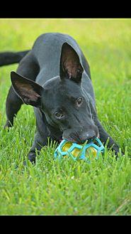 German Shepherd Dog/Labrador Retriever Mix Dog for adoption in Houston, Texas - Scout