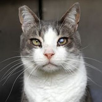 Domestic Shorthair Cat for adoption in Pacific Grove, California - Lucky