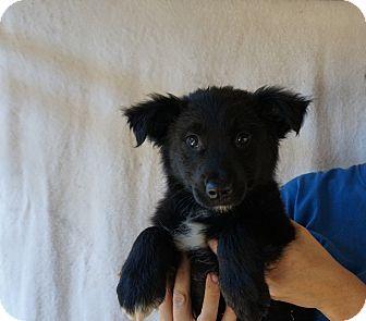 Australian Shepherd/Golden Retriever Mix Puppy for adoption in Oviedo, Florida - Juju