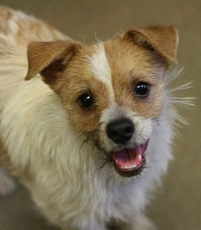 Jack Russell Terrier Mix Dog for adoption in Canoga Park, California - Pilot
