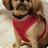 Shih Tzu/Lhasa Apso Mix Dog for adoption in Lutherville, Maryland - Rico
