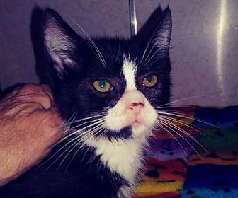 Domestic Shorthair Kitten for adoption in Harrisburg, Pennsylvania - Karma (baby girl)