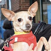 Adopt A Pet :: Bella! - New York, NY