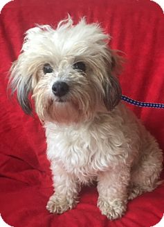 Maltese Mix Dog for adoption in pasadena, California - ZOEY