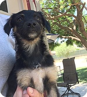 Spaniel (Unknown Type)/Yorkie, Yorkshire Terrier Mix Dog for adoption in Temecula, California - Gus