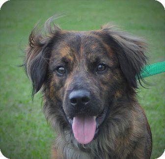Dutch Shepherd Mix Dog for adoption in Brattleboro, Vermont - Tigger