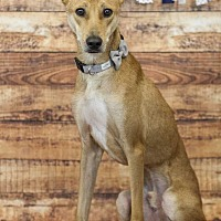 Canaan Dog Mix Dog for adoption in CORNING, New York - Dusty