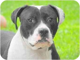American Bulldog/American Pit Bull Terrier Mix Dog for adoption in Danville, Kentucky - Costello