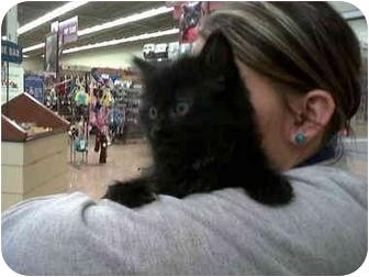 Maine Coon Kitten for adoption in Naperville, Illinois - Jaden