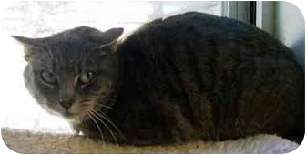 Domestic Shorthair Cat for adoption in Howes Cave, New York - Juno