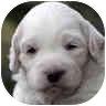 Bichon Frise Mix Puppy for adoption in La Costa, California - Khloe