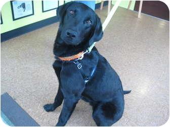 Labrador Retriever Mix Dog for adoption in Portland, Oregon - Raj