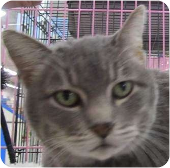 Russian Blue Cat for adoption in Muskogee, Oklahoma - CiCi