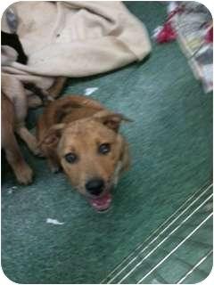 Labrador Retriever/Australian Shepherd Mix Puppy for adoption in Anza, California - Charlie