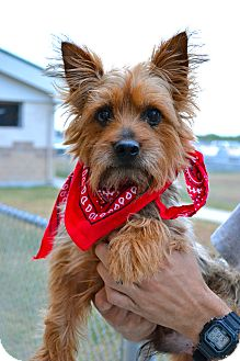 Yorkie, Yorkshire Terrier Mix Dog for adoption in Corpus Christi, Texas - Scamp