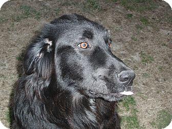 Great Pyrenees/Labrador Retriever Mix Puppy for adoption in Melbourne, Arkansas - Blue Wonder