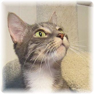 Domestic Shorthair Cat for adoption in Seattle c/o Kingston 98346/ Washington State, Washington - Brenda
