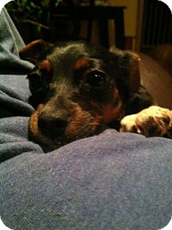 Beagle/Chihuahua Mix Puppy for adoption in Chicago, Illinois - KELSEY