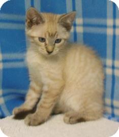 Siamese Kitten for adoption in Gary, Indiana - Lance