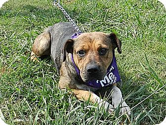 Pit Bull Terrier/Shepherd (Unknown Type) Mix Dog for adoption in Lawrenceburg, Tennessee - Titus