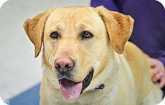Labrador Retriever Mix Dog for adoption in Martinsville, Indiana - Sherman
