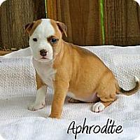 Adopt A Pet :: Aphrodite - Atlanta, GA