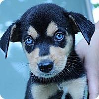 Adopt A Pet :: Balinda - South Jersey, NJ