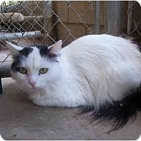 Adopt A Pet :: Mrs. Kitty - El Cajon, CA