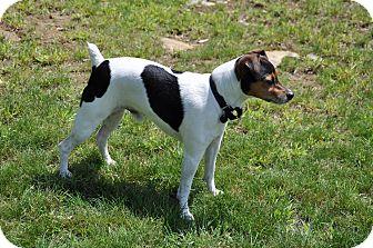 Jack Russell Terrier Dog for adoption in Hinsdale, Massachusetts - Rufus