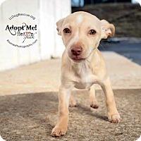 Adopt A Pet :: Corona - Shawnee Mission, KS