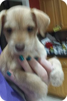 Schnauzer (Miniature) Mix Puppy for adoption in Mary Esther, Florida - Biscuit