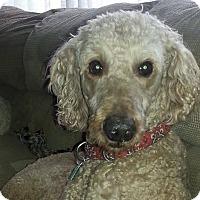Adopt A Pet :: Brandi - Courtesy Post - Tipp City, OH