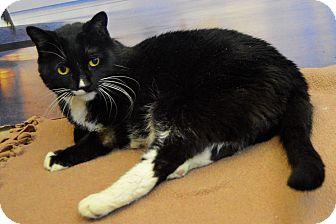 Domestic Shorthair Cat for adoption in Buena Vista, Colorado - Kitty
