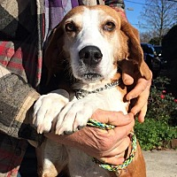 Treeing Walker Coonhound Mix Dog for adoption in Slidell, Louisiana - Sweet Pea
