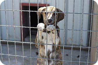 Australian Shepherd/Catahoula Leopard Dog Mix Puppy for adoption in Waldron, Arkansas - MARCY (URGENT HIGH KILL SHELTER WALDRON ARKANSAS)
