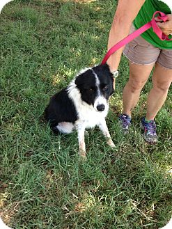 Border Collie Dog for adoption in Marble Falls, Texas - Brooks