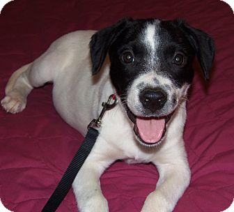 Springer Spaniel Mix Dog for adoption in Owatonna, Minnesota - Donatello