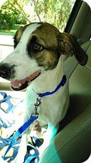 Hound (Unknown Type) Mix Puppy for adoption in New Smyrna Beach, Florida - Bogart