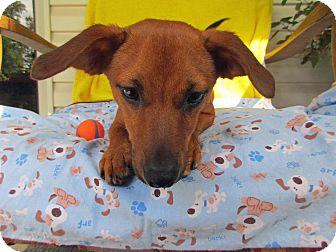 Dachshund/Feist Mix Puppy for adoption in Baltimore, Maryland - Ebert
