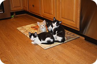 Domestic Shorthair Kitten for adoption in St. Louis, Missouri - Simba