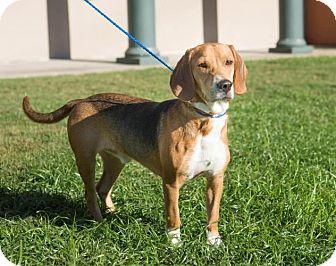 Beagle Dog for adoption in Boston, Massachusetts - George