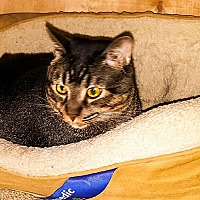 Domestic Shorthair Cat for adoption in White Settlement, Texas - Macy Cubby