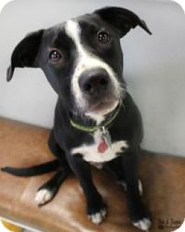 Labrador Retriever Mix Puppy for adoption in Yukon, Oklahoma - Flint
