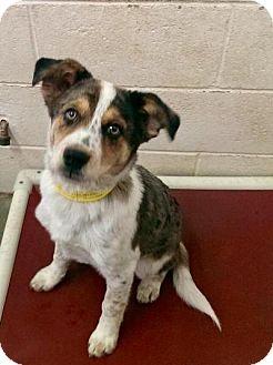 Australian Shepherd Mix Puppy for adoption in Manhattan, Kansas - Setabastian