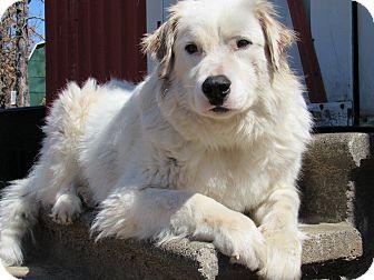 Australian Shepherd/English Setter Mix Dog for adoption in Kiowa, Oklahoma - Spirit