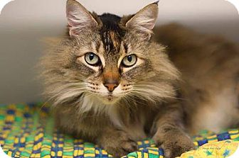 Domestic Mediumhair Cat for adoption in Bellingham, Washington - Gabby