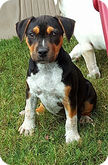 American Bulldog/Basset Hound Mix Puppy for adoption in Plano, Texas - Cricket